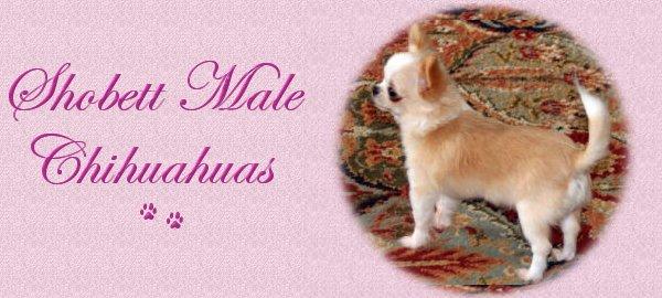 Shobett Male Chihuahuas