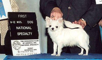 CH Shobett Royal Prevue - Chihuahua Club of America  Win